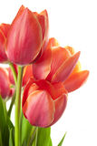 Fresh Beautiful Tulips / isolated on white Royalty Free Stock Photos