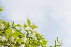 fresh and beautiful wild water plum flowers with Royalty Free Stock Image