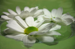 Fresh Beauty. White daisies floating on a water with a green background Stock Photography