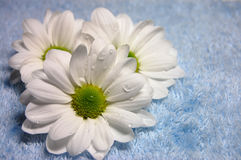 Fresh Beauty. Rain drops on three white daisies on a blue towel Stock Photography