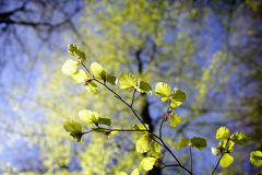 Fresh beech leaves Royalty Free Stock Photography