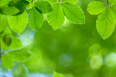 Fresh beech leaves Stock Image