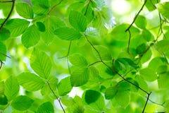 Fresh beech leaves Stock Photo
