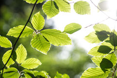 Fresh beech leaves Royalty Free Stock Photo