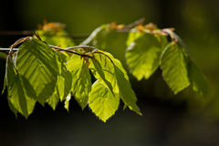 Fresh beech leaves in the spring on blurry background Royalty Free Stock Images