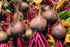 Fresh beet harvest Stock Images
