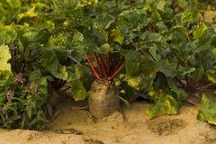 Fresh beet harvest Royalty Free Stock Images