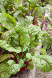 Fresh beet plants in a market garden Stock Photos