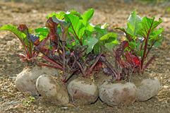 Fresh beetroot bunch Stock Photos