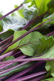 Fresh beetroot stalks and leaves Royalty Free Stock Photos