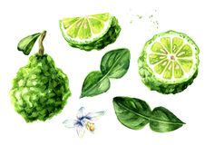 Fresh bergamot fruit with leaf set. Graphic design elements. Watercolor hand drawn illustration, isolated on white background.  royalty free stock images