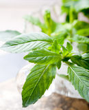 Fresh bergamot, mint leaves in a glass cup Stock Images
