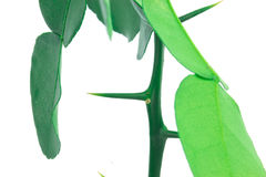 Fresh bergamot thorn Stock Photography