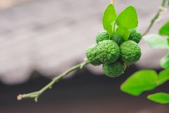Fresh bergamot on the tree in nature. Garden stock image