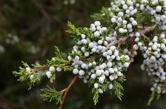 Cedar Berries Royalty Free Stock Image