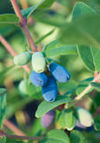 FRESH BERRIES IN A GARDEN Stock Photography