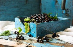 Fresh berries of golden currant in blue boxl on wooden background. Ribes aureum known by the common names black currant clove cur Stock Image