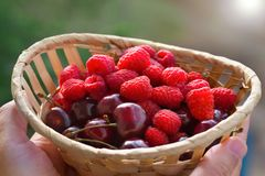 Fresh berries in hands. Raspberry and cherry in a basket stock photos
