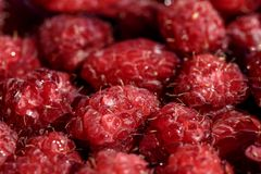 Fresh berries of pink raspberry, only plucked stock photography