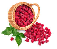 Fresh berries raspberry in wicker basket strewed. With green leaves. On white background Royalty Free Stock Image
