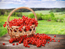 Fresh berries red currant in a basket Royalty Free Stock Photography