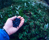 Fresh berry blueberries in the hands of the man on the background of green leaves in the forest. stock photography