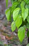 Fresh Betle Leaf Stock Photo