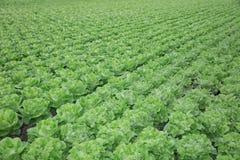 Fresh Bibb Lettuce on the Field Royalty Free Stock Photo