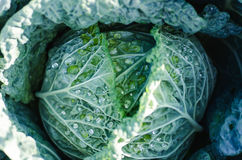 Fresh Big cabbage in the garden.  Stock Image