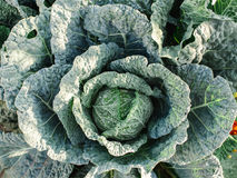 Fresh Big cabbage in the garden.  Royalty Free Stock Image