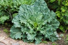 Fresh big cabbage in the garden. Fresh big green cabbage in the garden Stock Photography