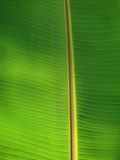 Fresh big green banana palm leaf in Goa Stock Image
