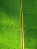 Fresh big green banana palm leaf in Goa. Fresh big green banana palm leaf close-up view on Indian Beach - Goa Stock Image