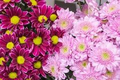 Fresh big pink chrysanthemum closeup Royalty Free Stock Photo