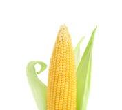 Fresh big raw corncob. Isolated on a white background Stock Images