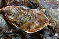 Fresh big raw oysters on ice. Fresh big raw oysters unopen in shells on crushed ice, close up Stock Photo