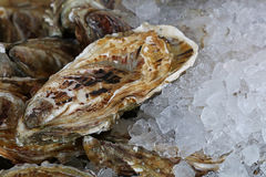 Fresh big raw oysters on ice. Fresh big raw oysters unopen in shells on crushed ice, close up Stock Photography
