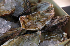 Fresh big raw oysters on ice Royalty Free Stock Photo