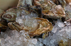 Fresh big raw oysters on ice Stock Image