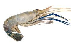 Fresh big shrimp, prawn isolate on white background Royalty Free Stock Photos