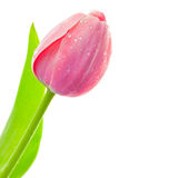 Fresh Big Tulip with waterdrops on white. Background, spring seasonal card royalty free stock images