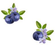 Fresh Bilberries blueberries, isolated Stock Photo