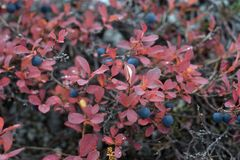 Fresh bilberries on the bushes in the autumn Royalty Free Stock Photography
