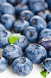 Fresh bilberries Stock Image