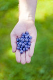 Fresh bilberry in hand Stock Photos