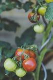 Fresh bio beefsteak tomato Stock Images