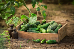 Fresh and bio cucumbers in old wooden box. Closeup of fresh and bio cucumbers in old wooden box Stock Photos