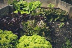 Fresh bio leaf salad raised bed. Urban gardening eaf salad raised bed Royalty Free Stock Images