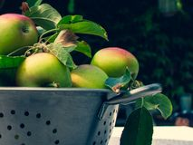 Fresh biologic apples in in the metal colander on the table in. Fresh ripe apples in in the metal mesh percolate pot on the table outdoor. Apple harvest. Ripe stock photography