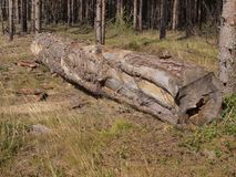 Birch in wood one Stock Image
